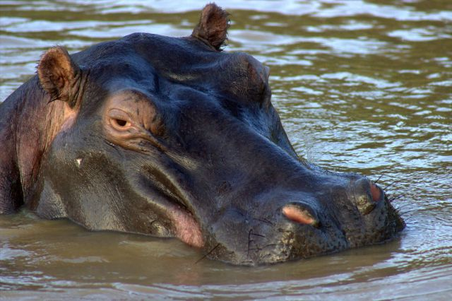 estuary-hippo